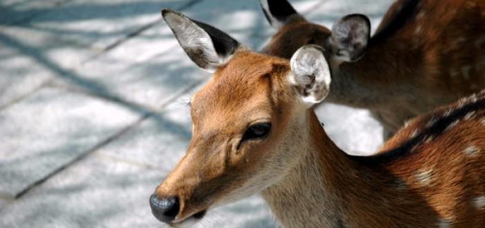 nara-deer-1